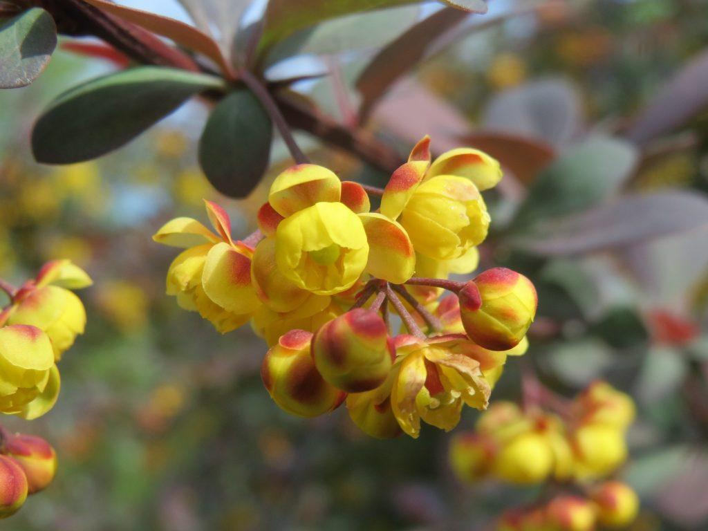 Berberin: Was kann der Pflanzenfarbstoff wirklich? 1